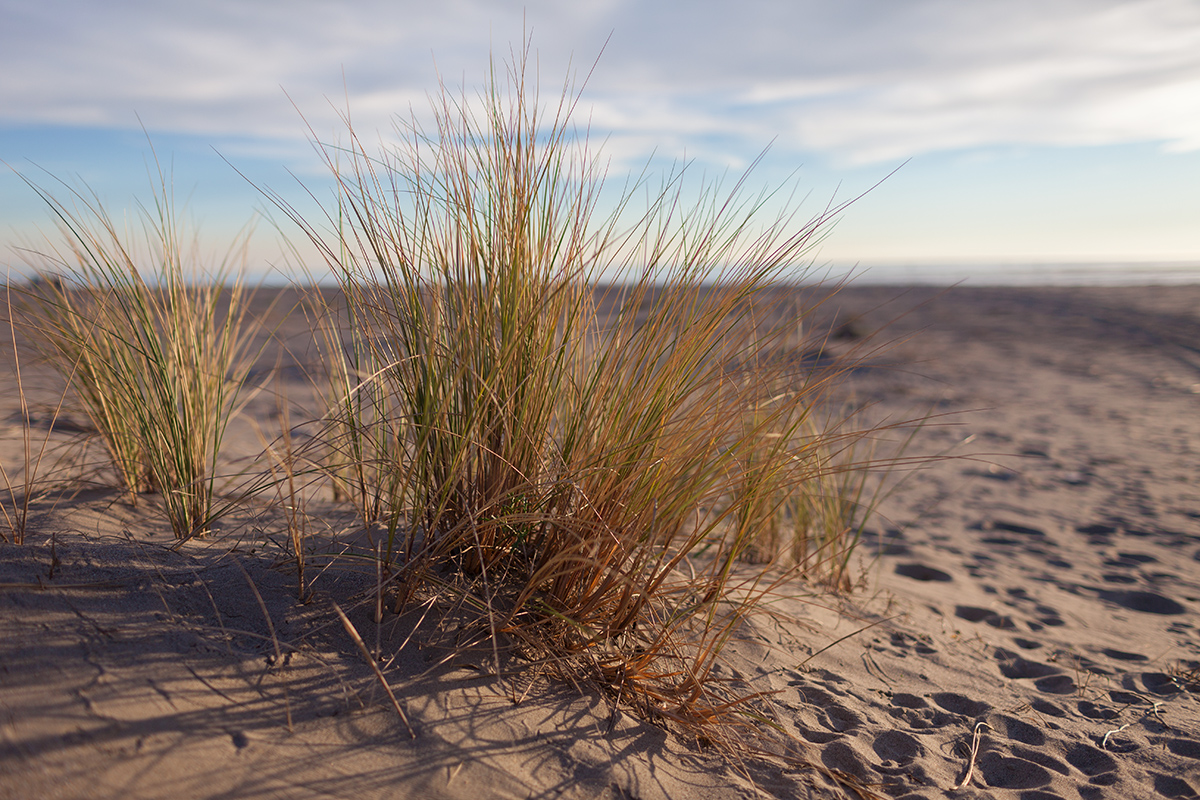 _MG_9327_beachgrass