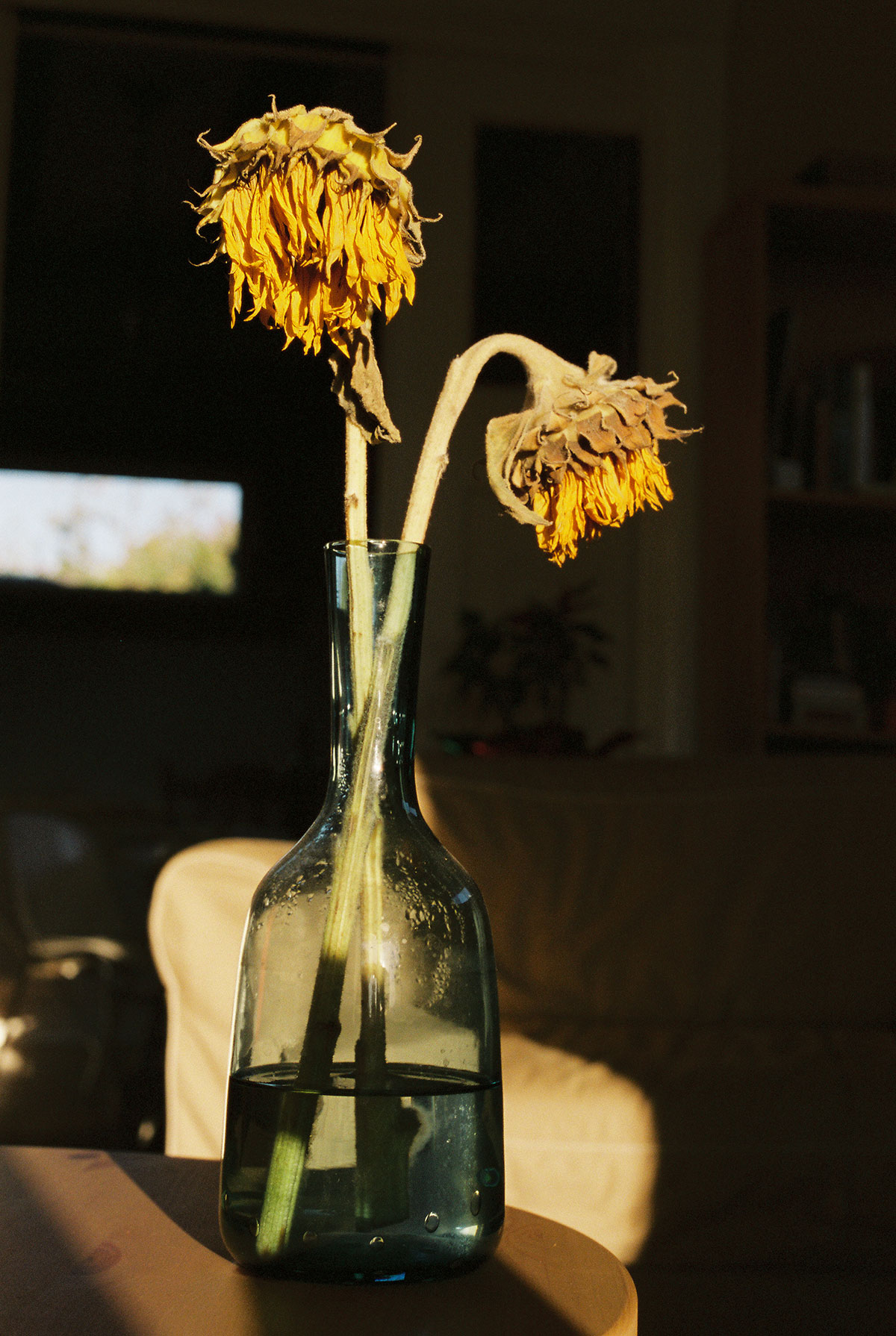 dying-sunflowers_rs